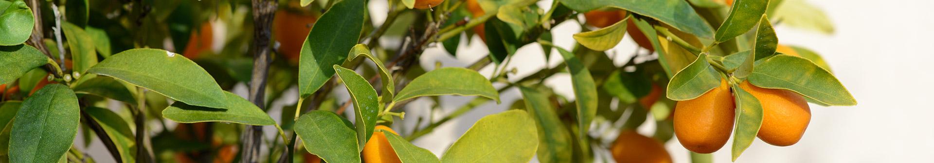 mediterrane_kuebelpflanzen_kaufen_erlangen