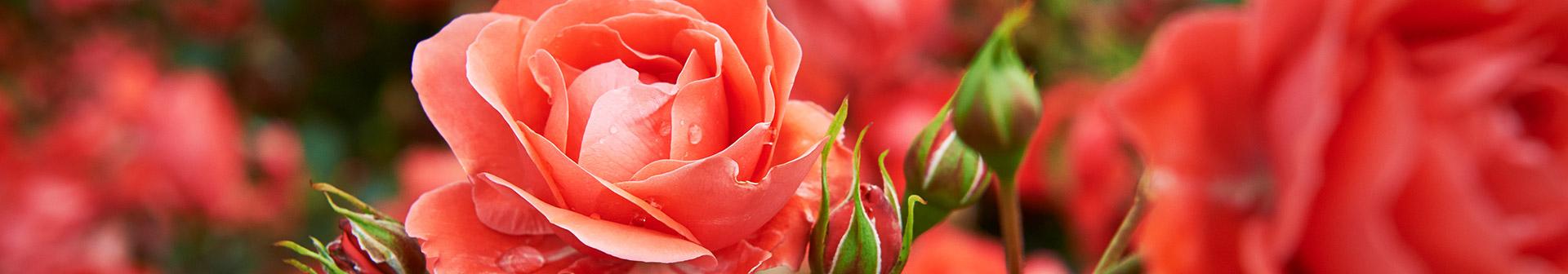 rosenpflanzen_kaufen_gaertnerei_erlangen