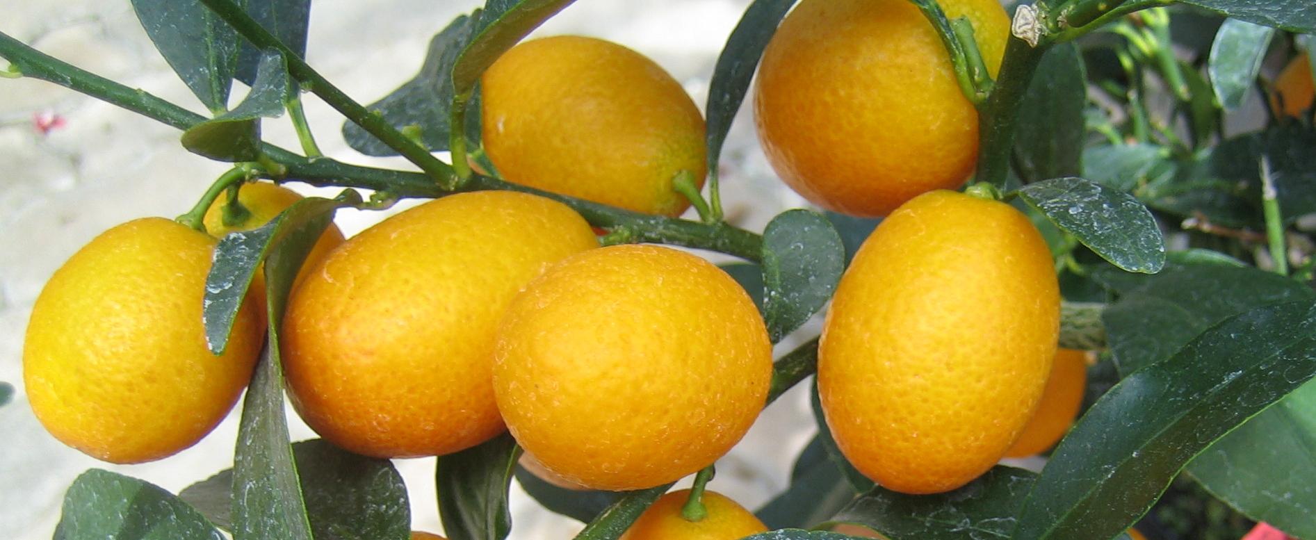 Citrus_Kumquat_1